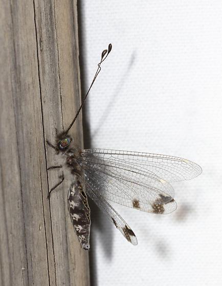Owlfly in Louisiana - Ululodes quadripunctatus
