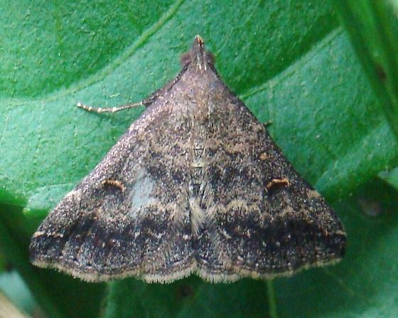 Moth with yellow spots - Tetanolita floridana