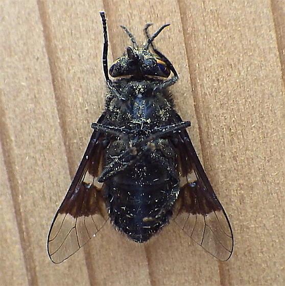 Tabanidae: Chrysops - Chrysops - male