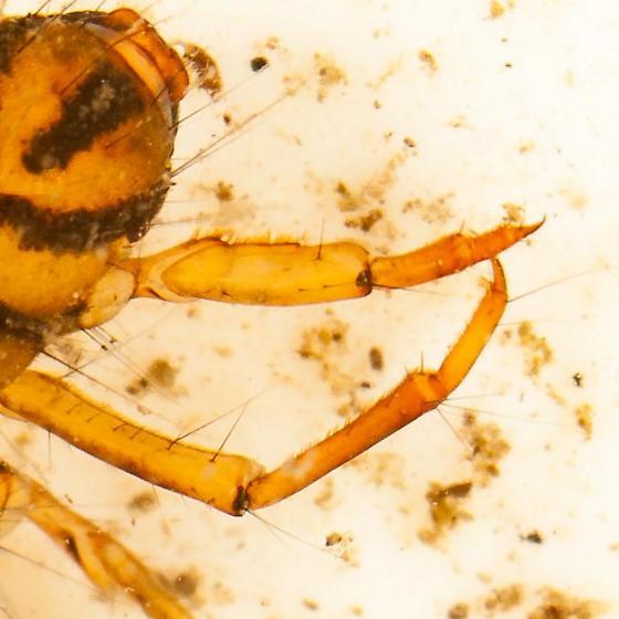 Unknown casemaker caddisfly - Nemotaulius hostilis