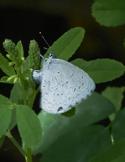 Little blue butterfly - Celastrina echo