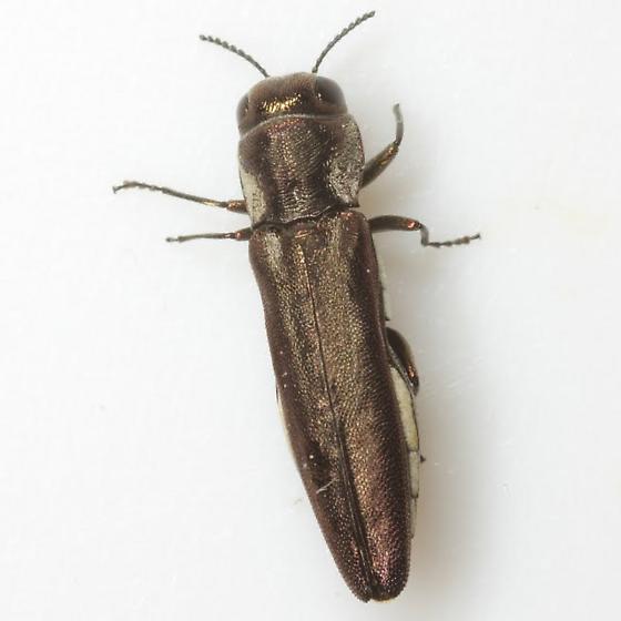 Agrilus obscurilineatus Vogt - Agrilus obscurilineatus