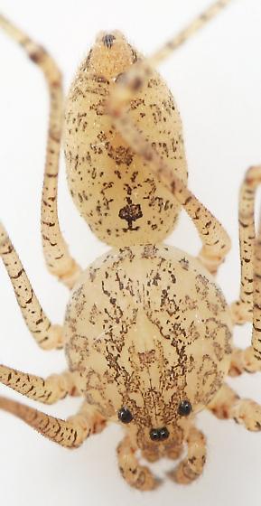 Scytodes - male