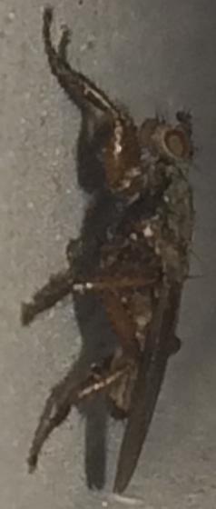 Fly - Coelopa frigida