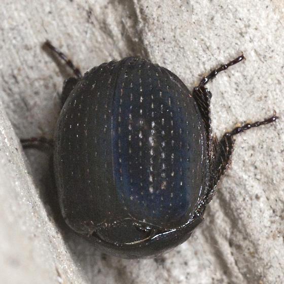 Pill Scarab Beetle - Germarostes