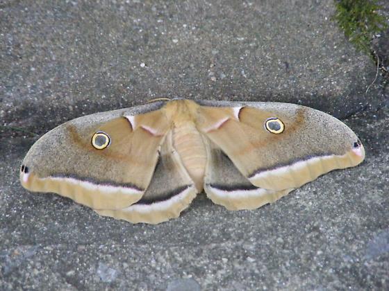 Mothra - Antheraea polyphemus