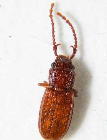 Odd Antennæ. - Cryptolestes uncicornis - male