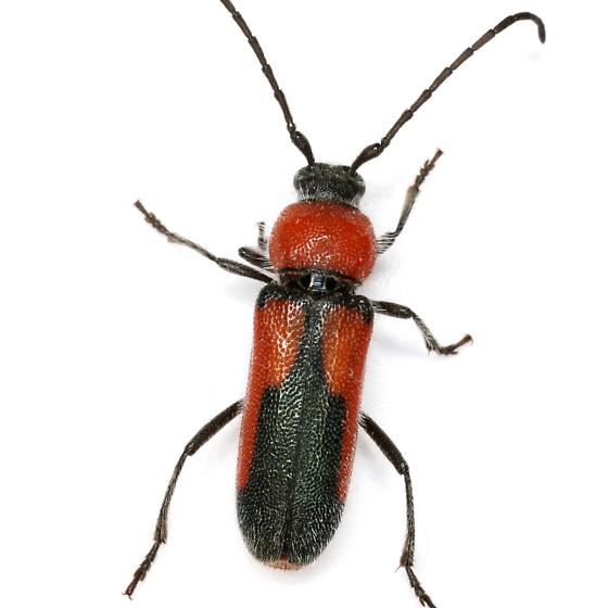 Crossidius pulchellus LeConte - Crossidius discoideus