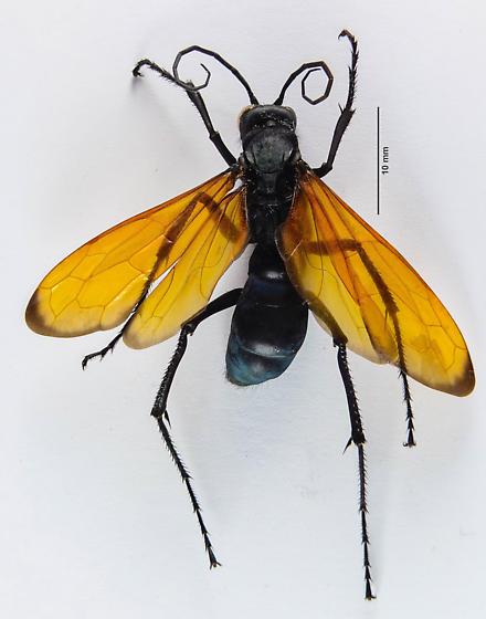 Pepsis? - Entypus aratus - female