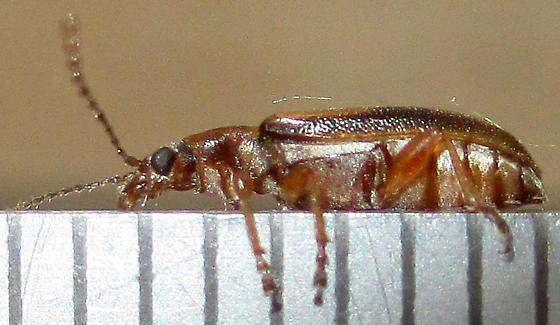 ~6mm Beetle - Orsodacne atra