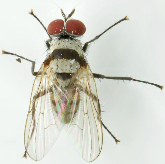 Fly - Anthomyia illocata - male
