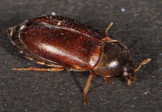 Unknown Beetle - Attagenus