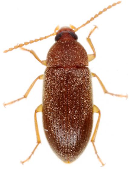 Tenebrionidae? - Hymenorus