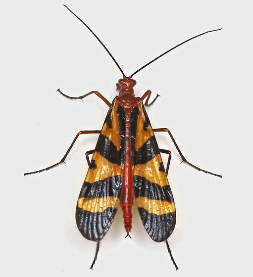 BG2883 E2703 - Panorpa nuptialis - female