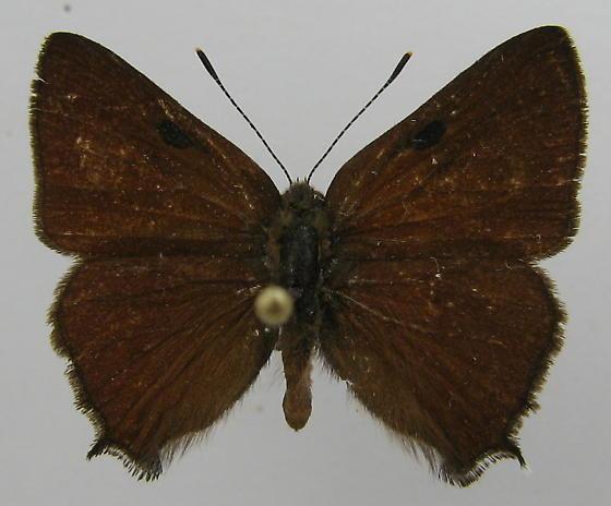 Satyrium saepium - male