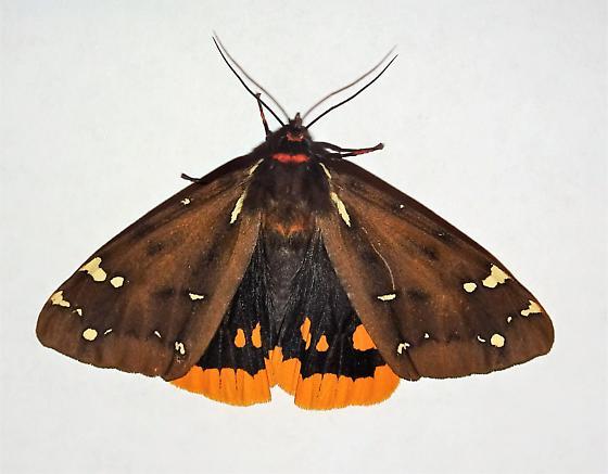 St. Lawrence Tiger Moth :  Platarctia parthenos - female