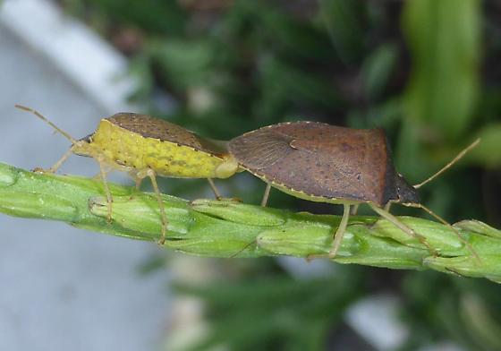 Mating Stink Bugs - Euschistus obscurus - male - female