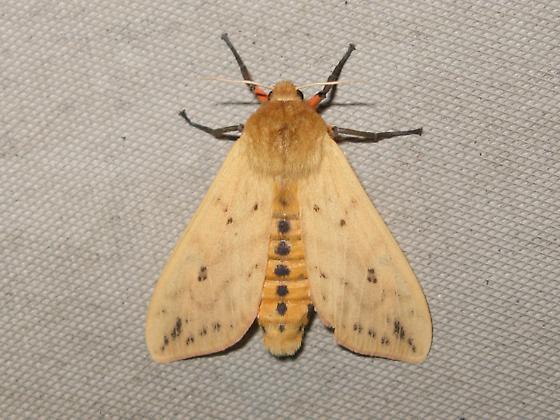 Moth type thing - Pyrrharctia isabella