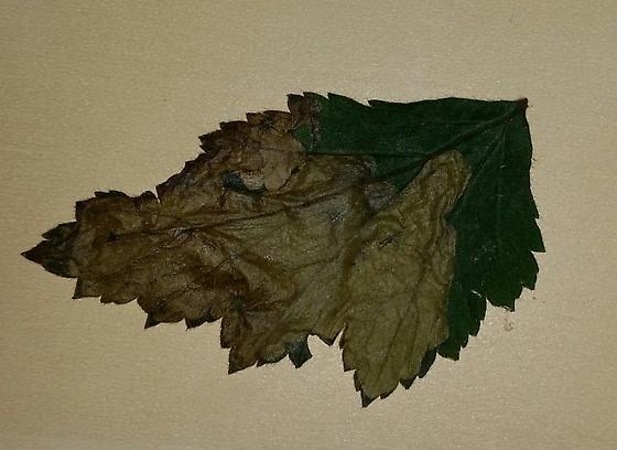 White avens leaf miner - Metallus lanceolatus