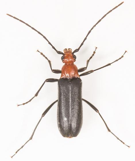 Beetle - Charisalia americana