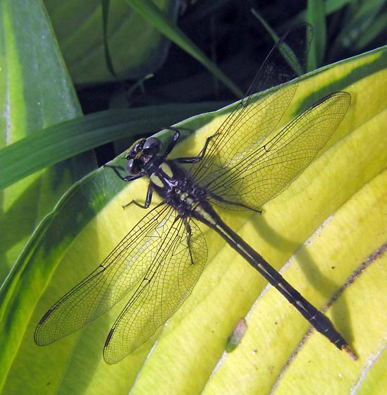 Dragonfly ID needed - Phanogomphus borealis
