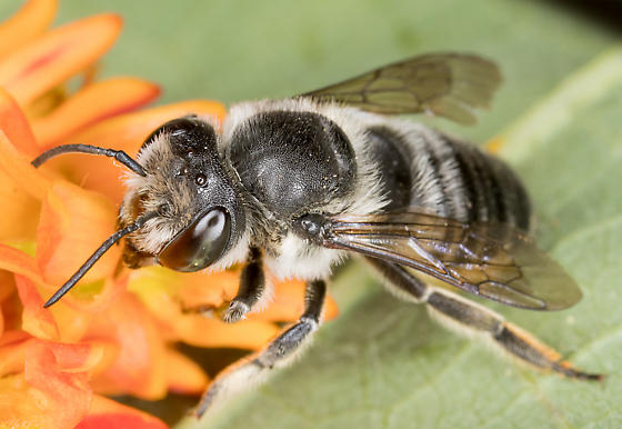 Female Leafcutter Bee - Megachile mendica - female