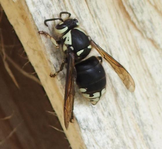Dolichovespula maculata ? - Dolichovespula maculata - female