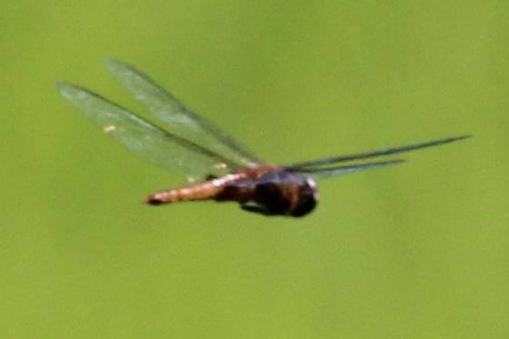 Spot-winged Glider - Pantala hymenaea