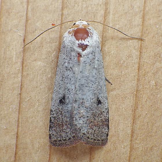 Noctuidae: Anicla tenuescens? - Anicla