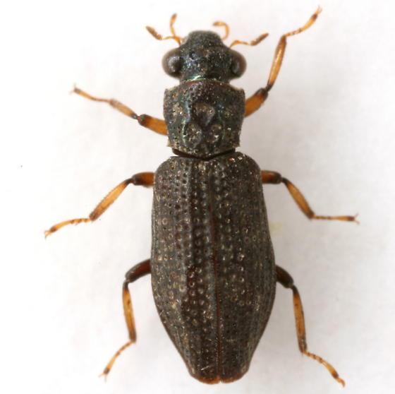 Hydrochus