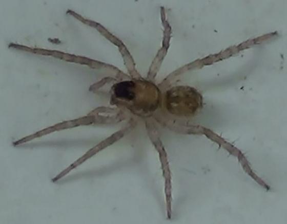 Baby Wolf Spider - Short & Wide - Arctosa littoralis