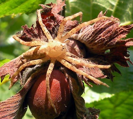 Spider on American Hazelnut - Pisaurina mira - female