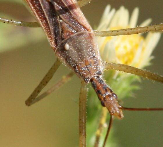Assassin Bug - Zelus cervicalis