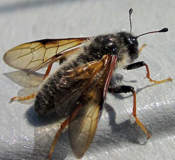 Sawfly on alpine tundra, Quebec - Trichiosoma triangulum