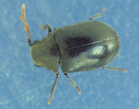 Beetle for Boris - Dorcatoma pallicornis