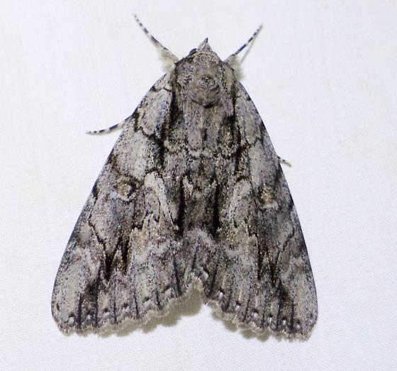 8788 – Catocala retecta – Yellow-gray Underwing Moth  - Catocala retecta-luctuosa
