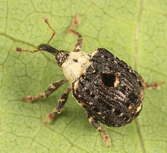 weevil - Cionus scrophulariae