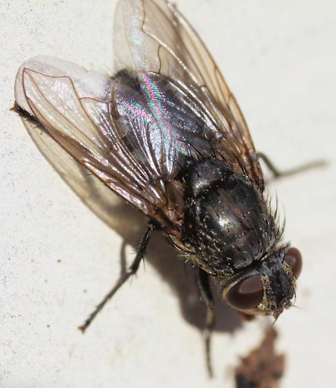 Fly - Pollenia - female