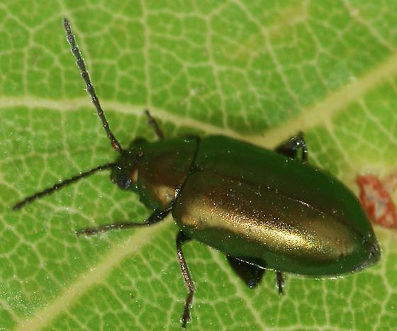 Grape Fla Beetle - Altica chalybea