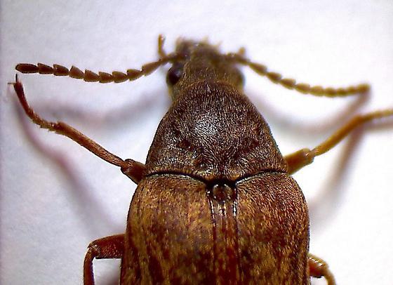 Araeopidius monachus