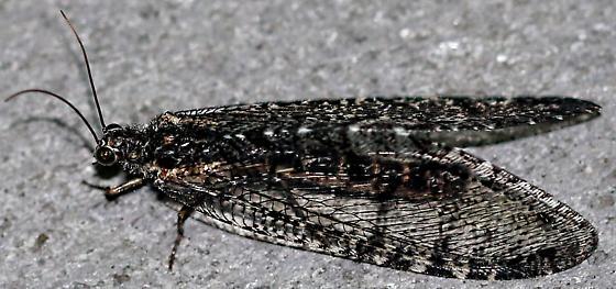 Fishfly (fuzzy) - Polystoechotes punctata