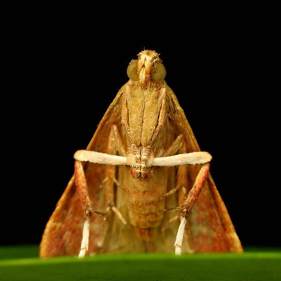 Moth ID - Arta olivalis