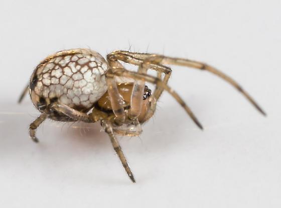 Spider - Leucauge venusta - female