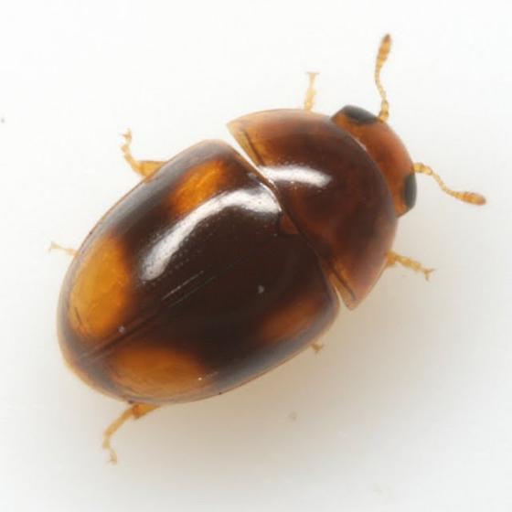 Acylomus
