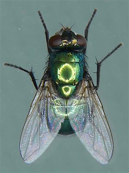 Neomyia cornicina? - Neomyia cornicina - female