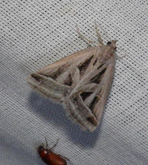 moth - Callistege diagonalis