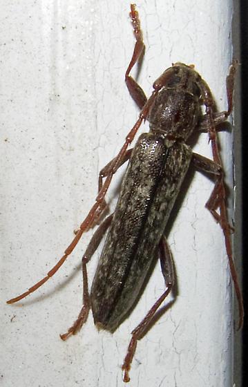 Anelaphus parallelus - Oak Twig Pruner? - Anelaphus parallelus