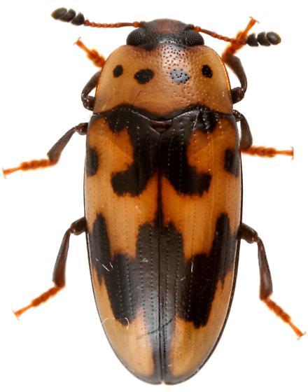 Ischyrus quadripunctatus? - Ischyrus quadripunctatus