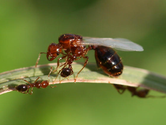 Red Imported Fire Ant - Solenopsis invicta