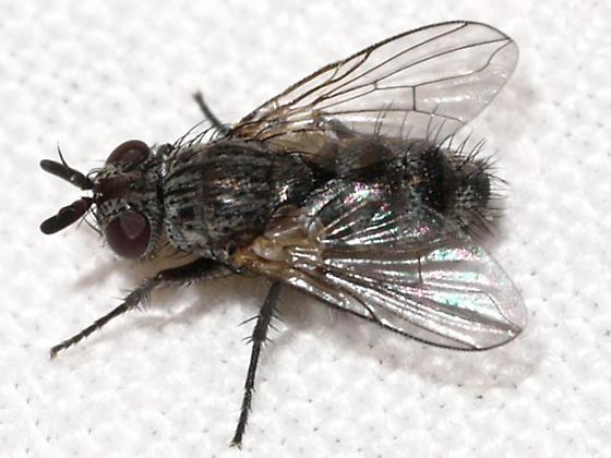 fly - Triarthria setipennis
